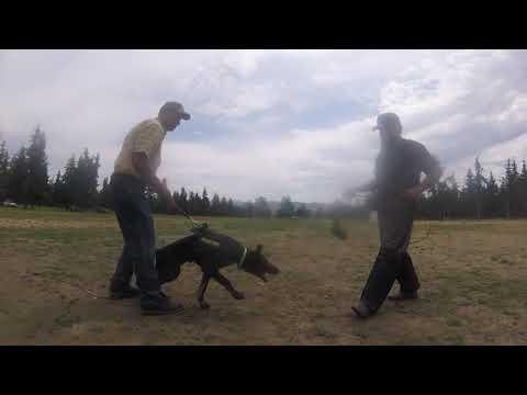 Grip work with Javier ~ Video Sponsored by Prodogz Dog Equipment Prodogz.com