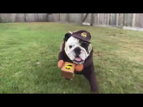 reuben-the-bulldog-just-a-bulldog-with-a-package