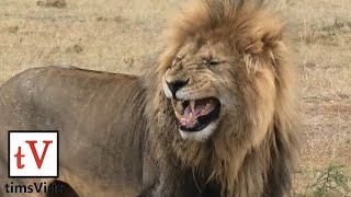 Lions are currently of Vulnerable conservation status. Filmed at Ol...