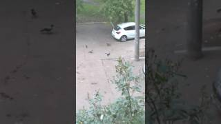 как вороны обманули кошку