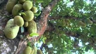Flora of Indonesia (Flowers, Fruits, Plantations) Mp3