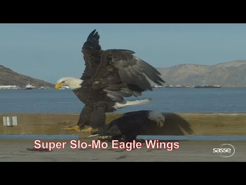 Amazing Eagle Wings -  Super Slow Motion - 1000fps