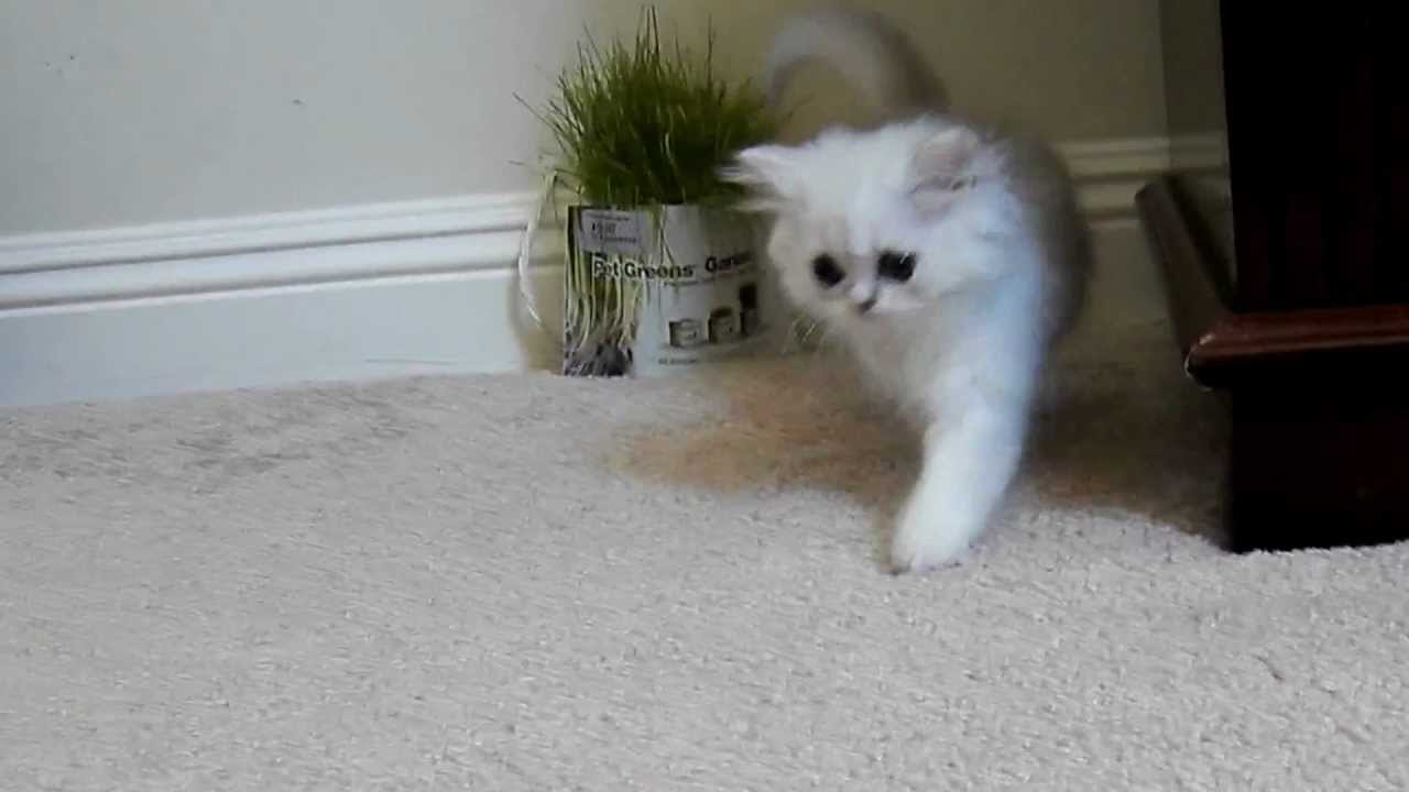 Kelskits Chinchilla Silver Persian Female having fun! - Fancy Feast ...