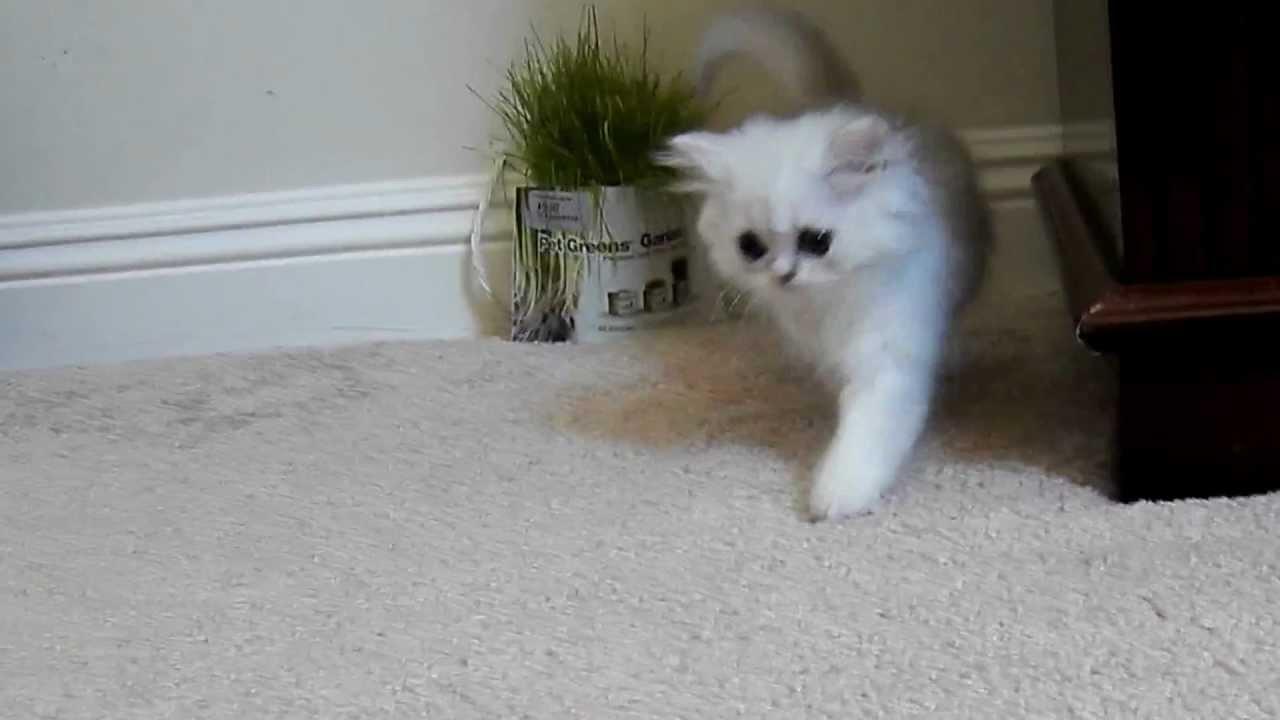 Kelskits Chinchilla Silver Persian Female having fun! - Fancy Feast Cat