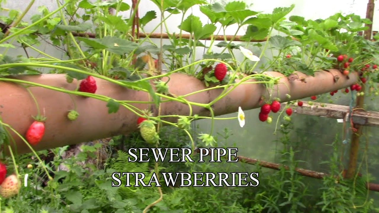 Sewer Pipe Strawberries The Best Place To Grow Them