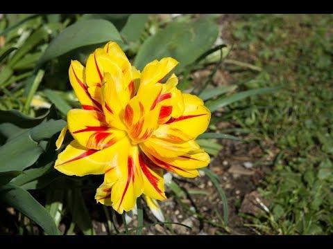 пересадка тюльпанов осенью на другое место