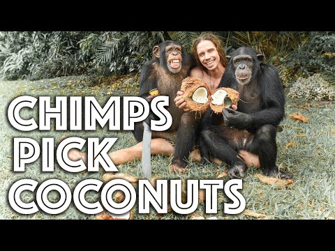 Chimps Pick Coconuts with Kody Antle | Myrtle Beach Safari