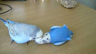 Dieter the Budgie 9
