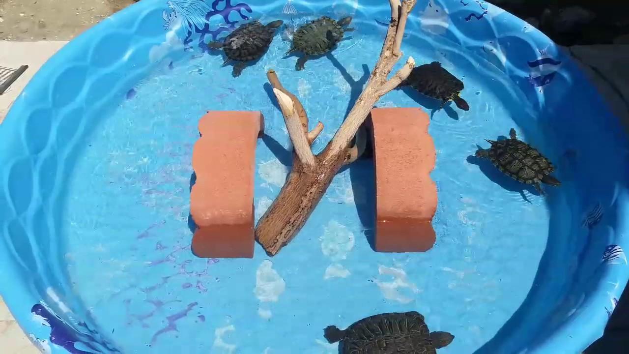Red Ear Slider Turtles Enjoying Their Outdoor Pool Youtube