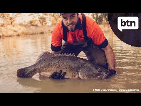 Darling River Fish Rescue - Behind The News