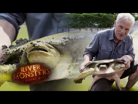 The Giant Softshell Turtle - River Monsters