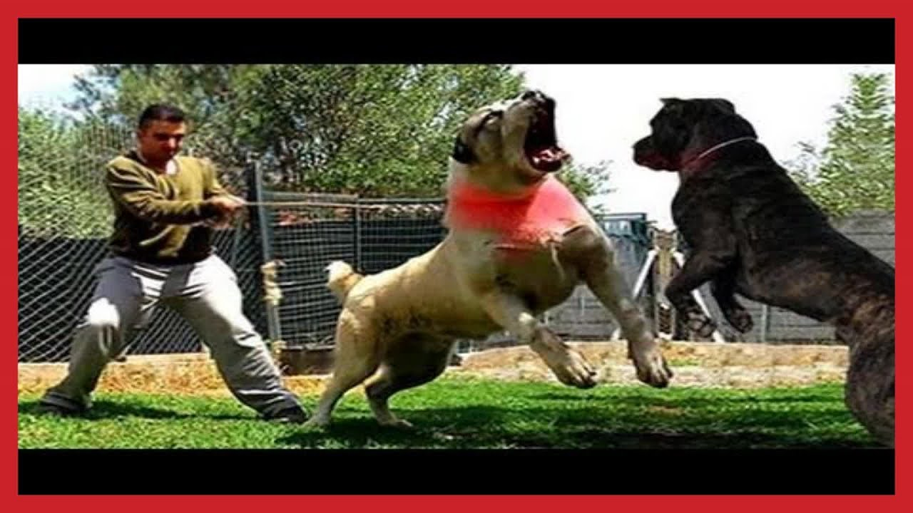 WORLD BIGGEST PET TOP STRONGEST DOGS IN THE WORLDs ALABAI - 10 of the worlds biggest pets