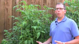 Tomatoes: Determinant vs. Indeterminant