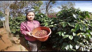 เที่ยวลาวใต้ EP16 สาวลาว เมืองปากซอง เก็บกาแฟขาย : แม่โขง ออนทัวร์