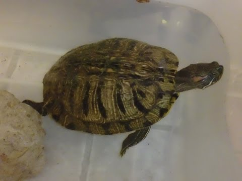 Another Turtle Rescue!  From the Turtle Lake that is now almost dried up :(