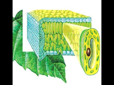 Видеоурок: Строение клетки. Клеточная мембрана по предмету