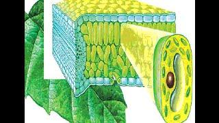 Клеточное строение растений