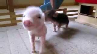 Pet piglets oinking