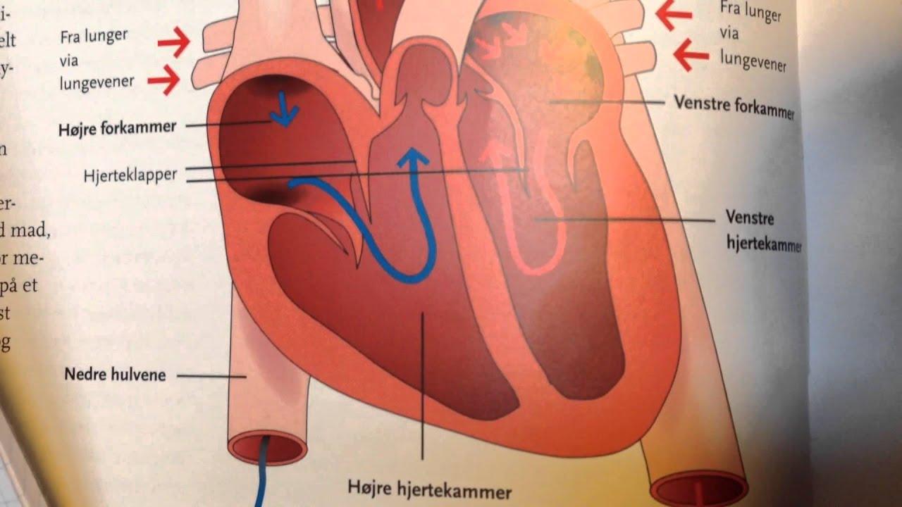 Lungernes og hjertets opbygning
