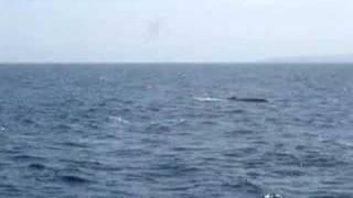 Blue Whale Takes 3 Breaths then Dives off Santa Barbara, CA