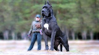 15 Biggest Guard Dogs In The World