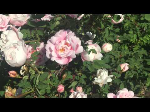 Mon amie la rose - Vain ruusu vähäinen Francoise Hardy 1964