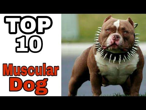 TOP-10 Muscular Dog Breed In The World /Do you know / Aryan Dog Club Aryandogclub