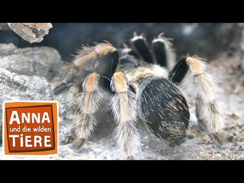 Keine Angst vor Spinnen Doku | Reportage für Kinder | Anna und die wilden Tiere
