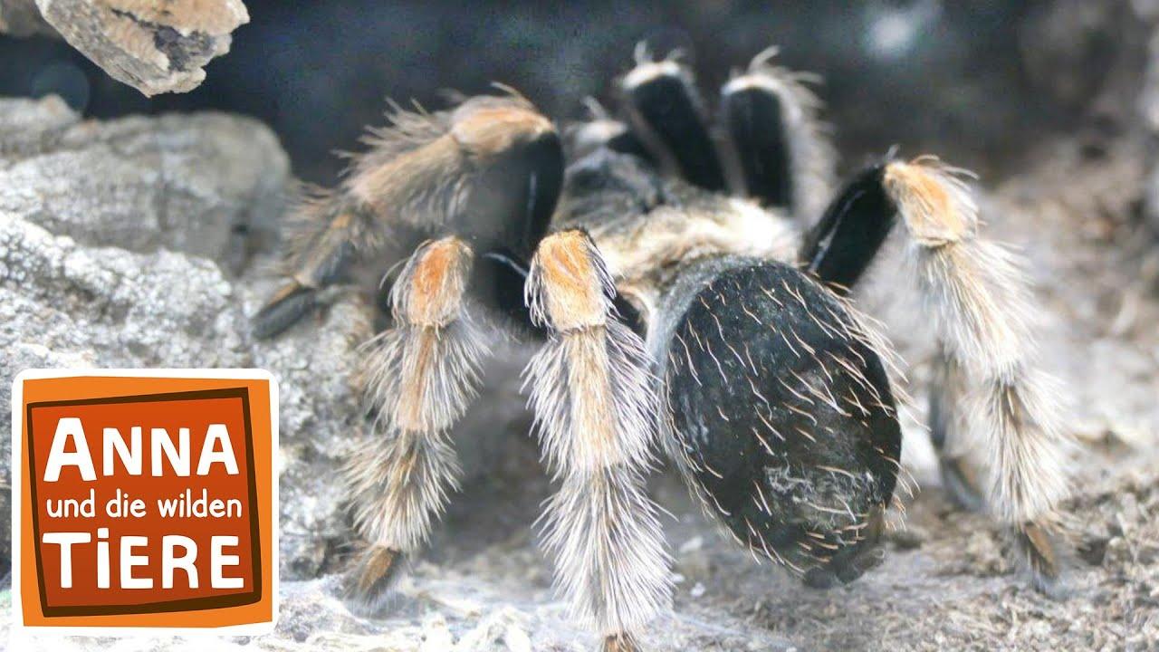 Keine Angst Vor Spinnen Doku Reportage Fur Kinder Anna Und Die Wilden Tiere Youtube