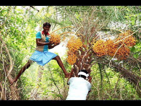 Village Boys Harvesting Fresh WILD DATE-PALM Fruits in my village | phoenix sylvestris