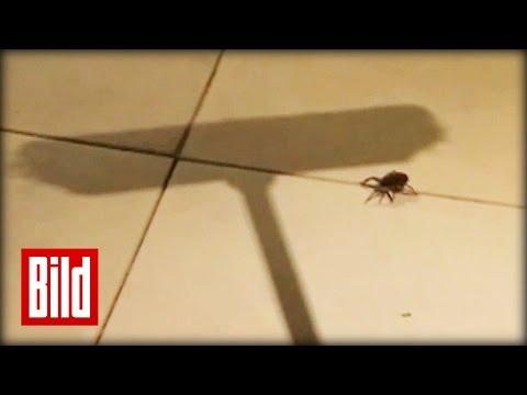 Wolfsspinne mit Besen erschlagen - Spinnenbabies rennen um ihr Leben / Arachnophobia