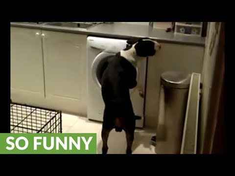 Guilty dog caught red-handed, gives priceless reaction