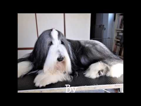 BEARDED COLLIE GREMONTREE - Let's grooming