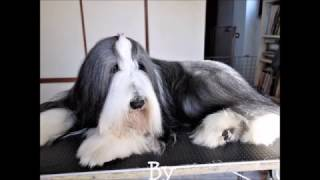 BEARDED COLLIE GREMONTREE  Let's grooming