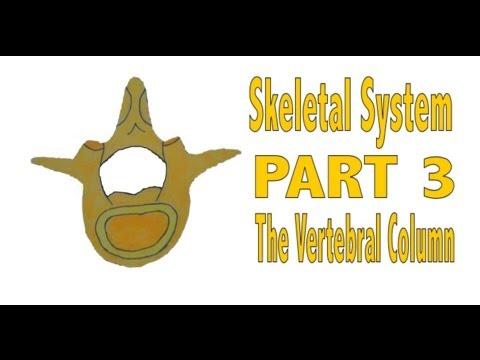 Skeletal System, Part 3: The Vertebral Column