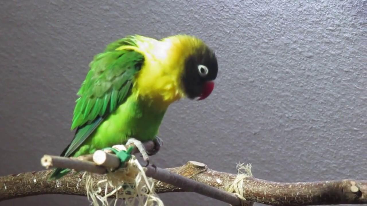 Schwarzköpfchen Hahn Singt Black Masked Lovebird Is Singing Youtube