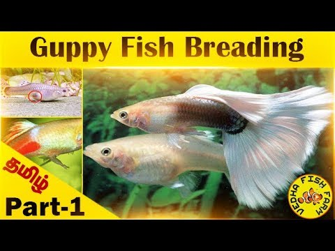 Guppy Fish Breeding Tamil | Part 1