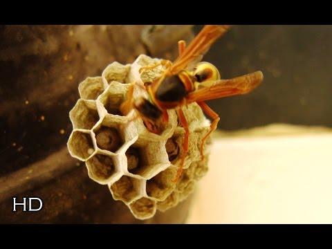 An Australian wasp founding a new colony ᴴᴰ  دبور استرالي ينشئ مستعمرة