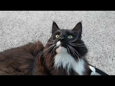 Loki the Norwegian Forest Cat having a chat