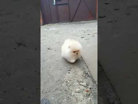Very cute pomeranian puppy male 5 weeks old for sale