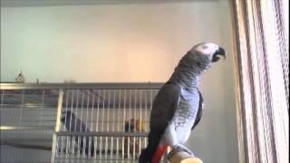 Жако, серый попугай, Гимн России.