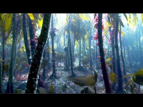 Magical Underwater Kelp Forests