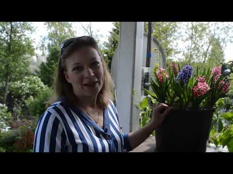 Гиацинт после цветения: секреты ухода