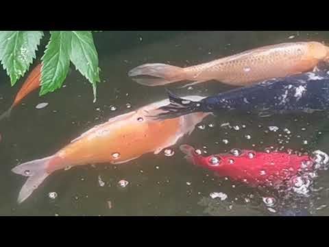 Using Sturgeon Safe Fungus And Parasite Treatment On The Koi Pond!