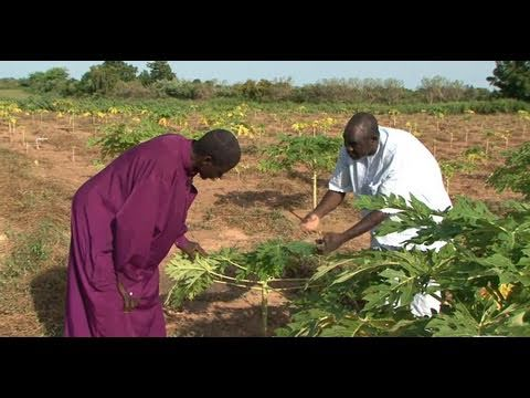 Innovative Farming Produces More Fruit and Money for Mali's Farmers