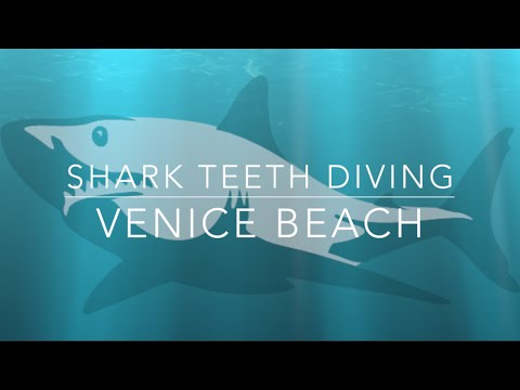 How To S Dive For Shark Teeth In Venice Beach