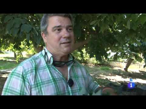 Reportaje sobre la chirimoya en Comando Actualidad