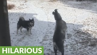 Alaskan Malamute befriends mischievous goat