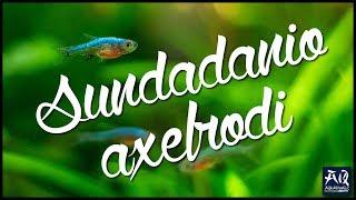 MEINE FISCHE | Sundadanio axelrodi | Axelrods Bärbling in meinem 60P| AquaOwner