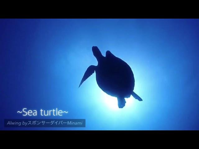 世界遺産でウミガメと探検へ/Green Turtle at Great Barrier Reef